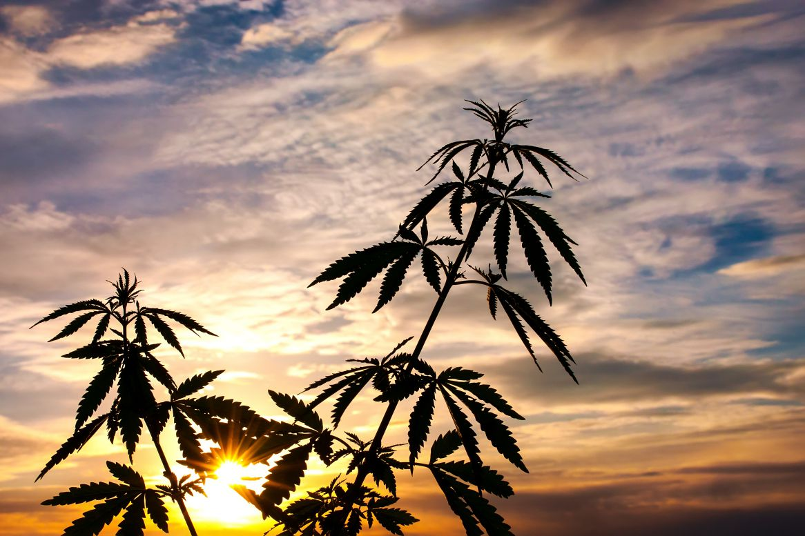 silhouette of cannabis on a blurred background in sunset bright light