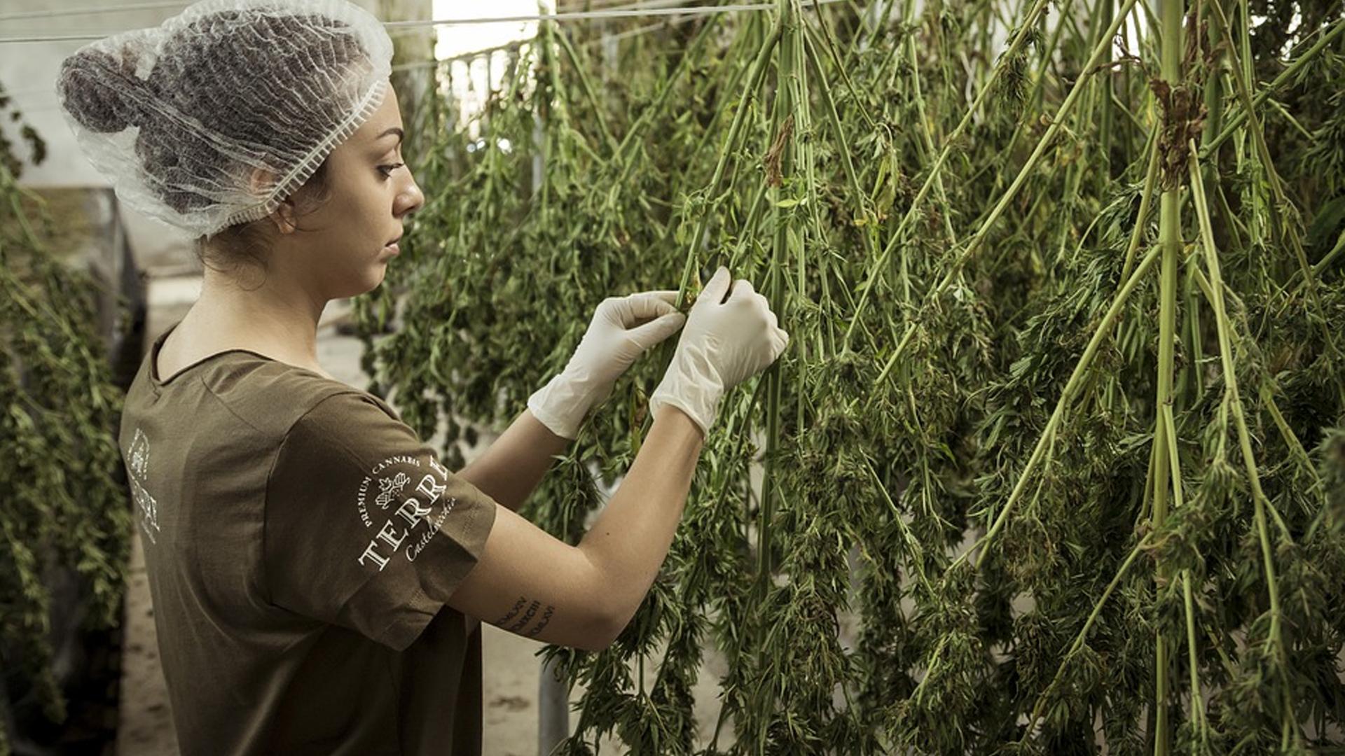 stock cannabis image